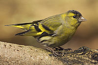 Carduelis spinus male