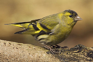 Eurasian siskin species of bird