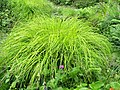 Carex elata 'Aurea' (03).jpg