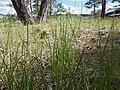 Carex inops heliophila (7462179936).jpg
