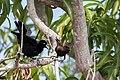 Carib Grackle Tordito (Quiscalus lugubris) (25955412993).jpg