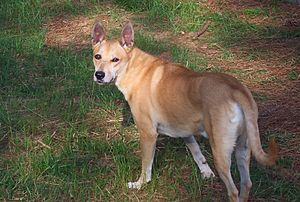 Carolina Dog - Image: Carolina dog 3 13 13