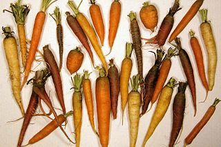 plant root used as a vegetable