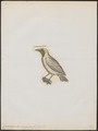 Casmarhynchus variegatus - 1700-1880 - Print - Iconographia Zoologica - Special Collections University of Amsterdam - UBA01 IZ16600159.tif