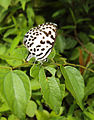 Castalius rosimon - Common Pierrot on the hostplant Ziziphus oenoplia - Jackal Jujube 24.JPG