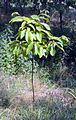 Castanea dentata field trial.jpg