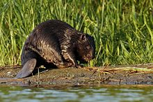 A beaver on a water bank