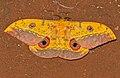Cat's Eye Emperor (Aurivillius fuscus) (16723681881).jpg