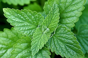 English: catnip , Nepeta cataria ;leaf