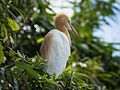 Cattle Egret in Breeding Plumage3.jpg