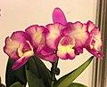 Cattlianthe Love Hero 'Angel Kiss' -台南國際蘭展 Taiwan International Orchid Show- (25970056357).jpg