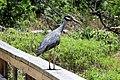 Cedar hill state park heron.jpg