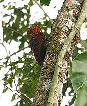Celeus castaneus -Costa Rica -male-8