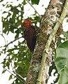 Celeus castaneus -Costa Rica -male-8.jpg