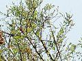 Celtis tala canopy1.jpg