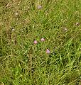 Centaurea stoebe, rijncentaurie (3).jpg