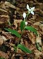 Cephalanthera damasonium 2.jpg