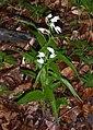 Cephalanthera longifolia plant Goettinger Wald.jpg
