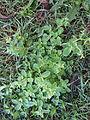 Cerastium glomeratum plant7 (12095495496).jpg