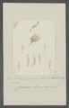 Cercaria brunnea - - Print - Iconographia Zoologica - Special Collections University of Amsterdam - UBAINV0274 105 13 0006.tif