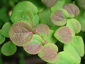 Cercidiphyllum - Image: Cercidiphyllum japonicum JPG01b