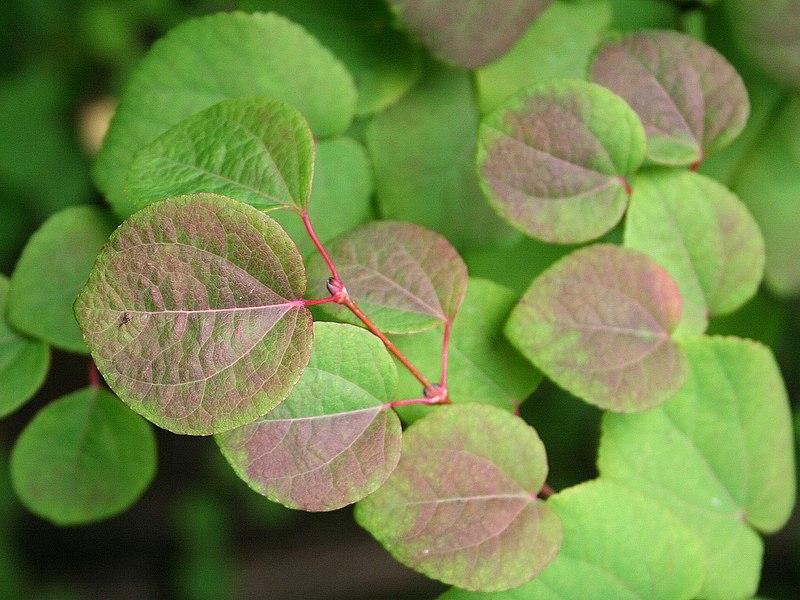 feuilles de l'abre au caramel