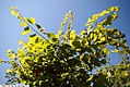 Cercis canadensis Hearts of Gold 2zz.jpg