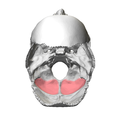Cerebellar fossa of occipital bone07.png