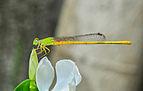 Ceriagrion coromandelianum male 27052014 (2).jpg