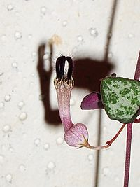 Ceropegia woodii flower IB