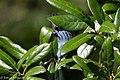 Cerulean Warbler (male) Anahuac NWR-Jackson Prairie Woodlot TX 2018-04-24 14-51-29 (40249871950).jpg