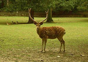 Sika deer - A Manchurian sika deer.