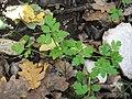 Chaerophyllum nodosum.jpg