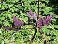 Chaerophyllum temulum leaf (02).jpg