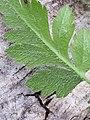 Chaerophyllum temulum leaf (25).jpg
