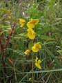 Chamaecrista fasciculata, 2015-09-19, Schenley Park, 04.jpg