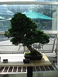 Chamaecyparis Obtusa bonsai.JPG