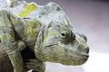 Chamaeleon - Bristol Zoo (4323204522).jpg