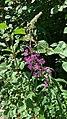 Chamaenerion angustifolium (55660083).jpg