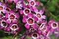 Chamelaucium uncinatum flower.jpg