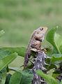 Chameleon India.jpg