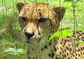 Cheeta (176532140).jpg