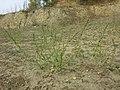 Chenopodium urbicum sl42.jpg