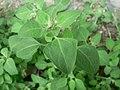 Chenopodium vulvaria plant (8).jpg