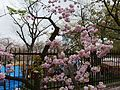 """Cherry-Blossom-Viewing through the """"Tunnel"""" at Japan Mint in 201504 027.JPG"""