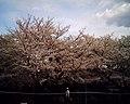 Cherry blossom near Zenpukuji river, Tokyo; July 2006 (11).jpg