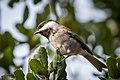 Chestnut-backed Chickadee (30849207812).jpg