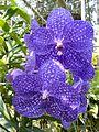 Chiang Mai Orchids P1110369.JPG
