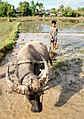 Child and ox ploughing, Laos (2).jpg