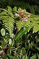 Chimaphila umbellata 0963.JPG